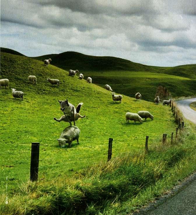 Les moutons de Stéphane.... dans Humour ls738lql