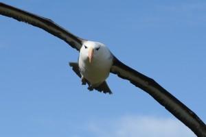 albatros en vol